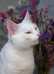 Mačka - aromaterapia