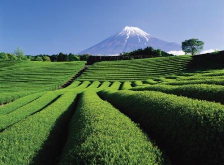 Zelený čaj v prírode